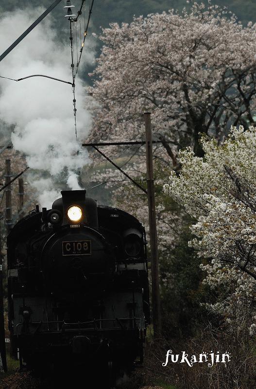 大井川鉄道さくら (8)のコピー