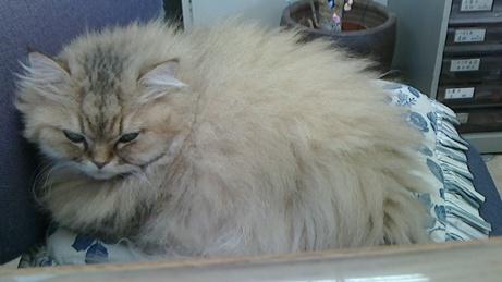 不動産屋の猫1