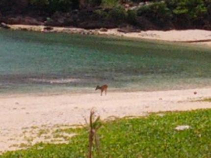 ケラマ鹿が海に