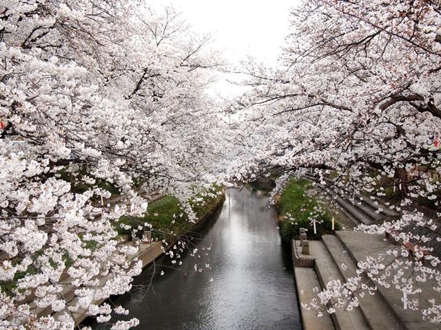 元荒川の桜 (1)