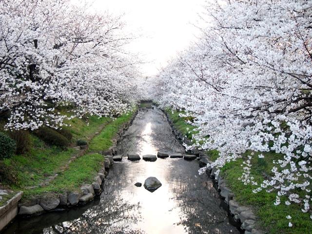 元荒川の桜 (3)