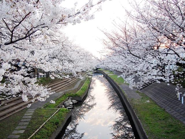 元荒川の桜 (2)