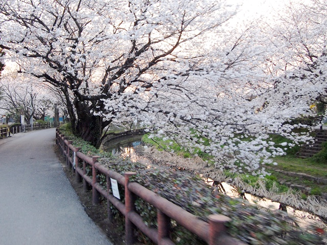 元荒川の桜 (5)