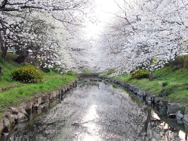 元荒川の桜 (4)