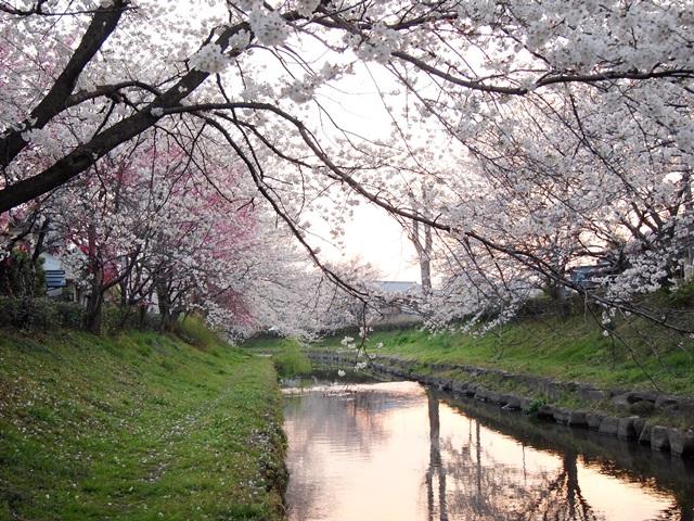 元荒川の桜 (6)