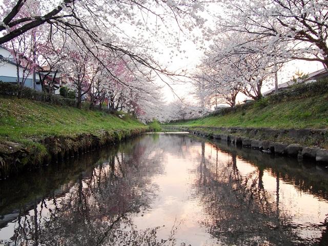 元荒川の桜 (7)