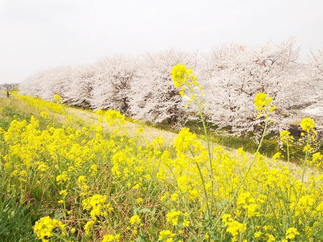 熊谷桜堤 (13)
