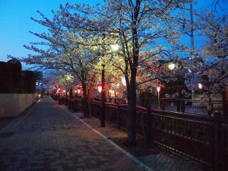 八瀬川桜祭り2