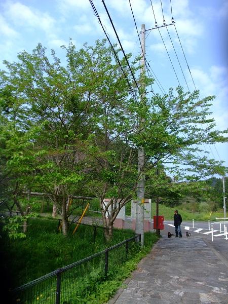 4-24桜