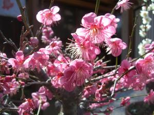 23月2日桜