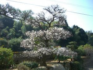 3月1日桜