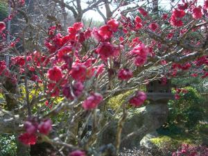 33月2日桜