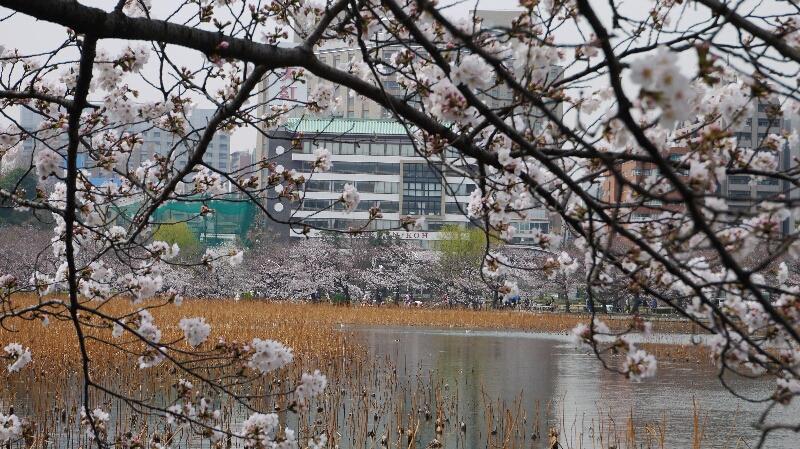 不忍池の桜01