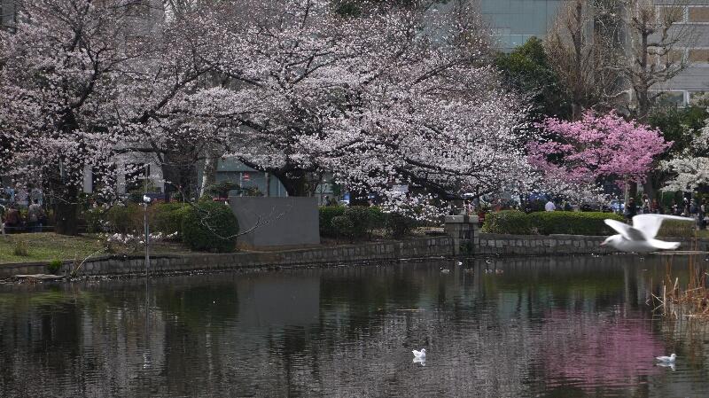 不忍池の桜03