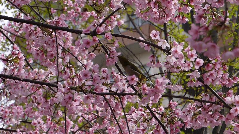 不忍池の桜02