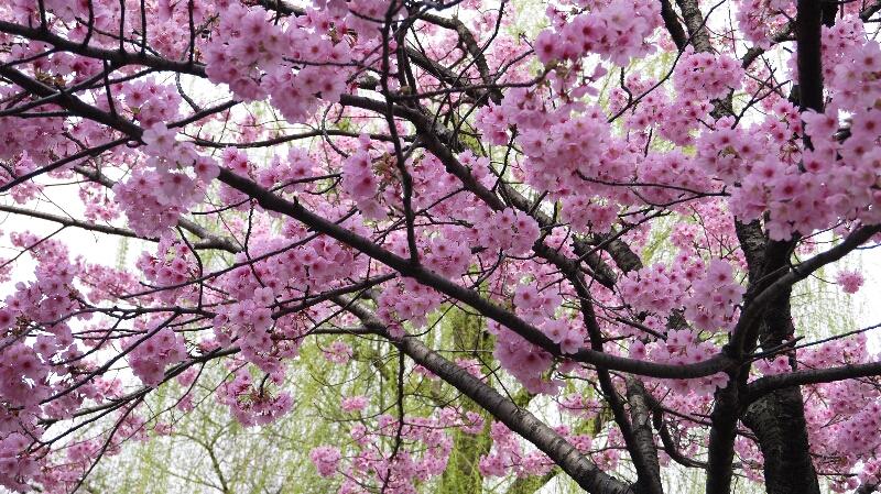 不忍池の桜04