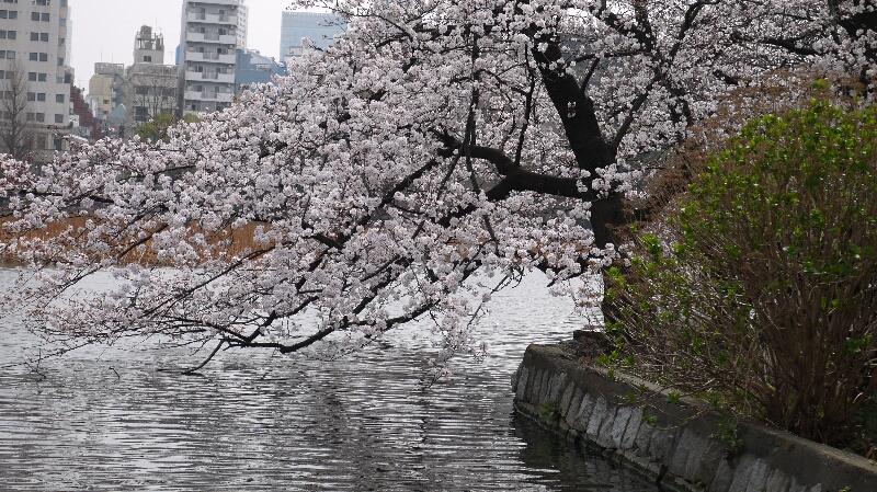不忍池の桜05