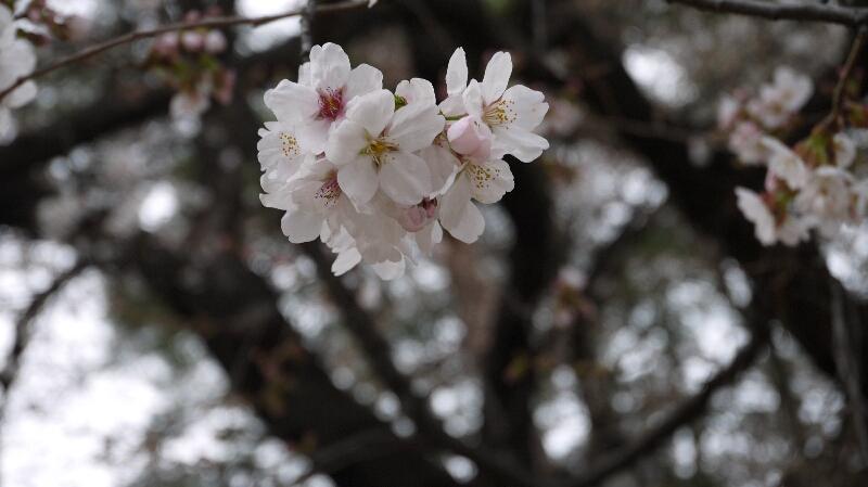 大宮公園の桜02