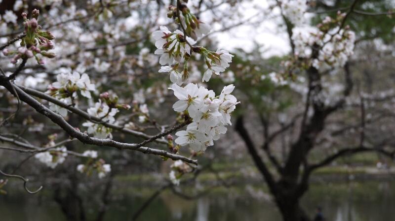 大宮公園の桜01