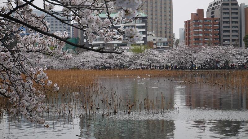 不忍池の桜06