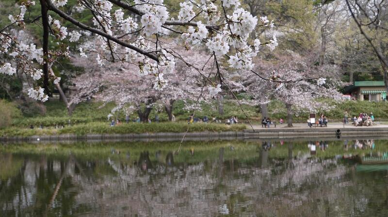 大宮公園の桜03