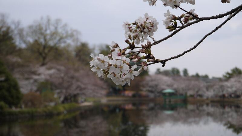 大宮公園の桜04