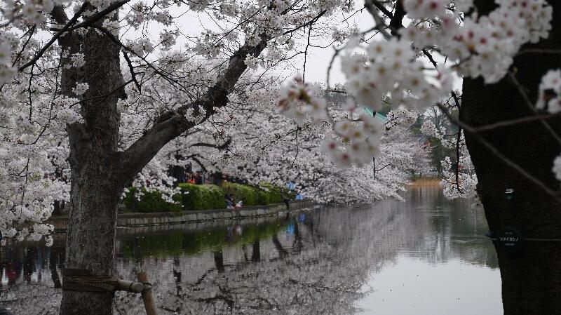 不忍池の桜08