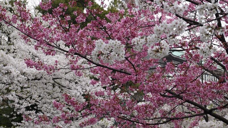 不忍池の桜07