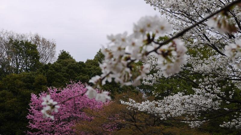 大宮公園の桜05