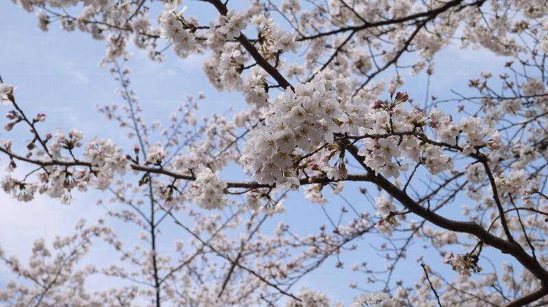 大宮公園の桜06