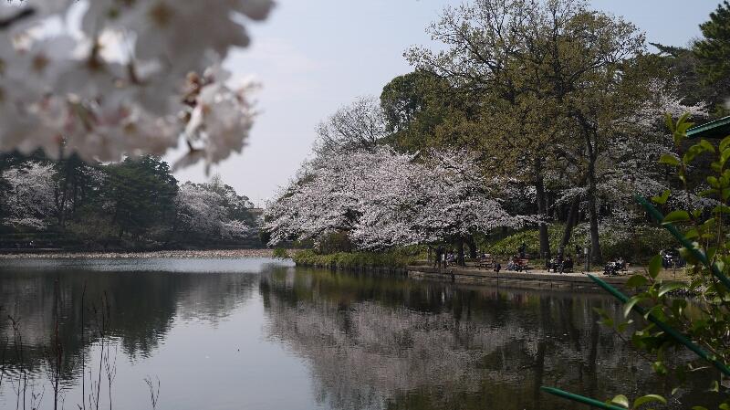 大宮公園の桜07