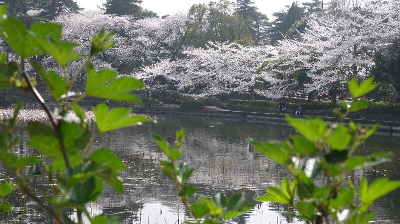 大宮公園の桜08