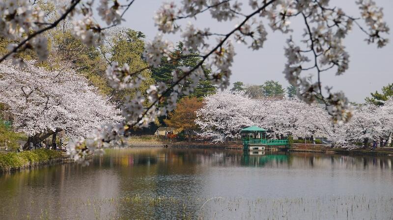 大宮公園の桜09