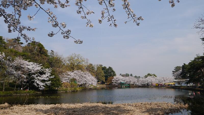 大宮公園の桜10