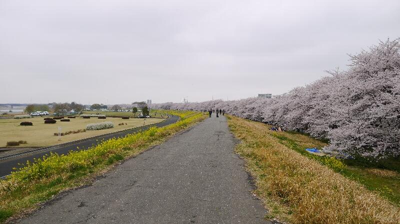 熊谷桜堤03