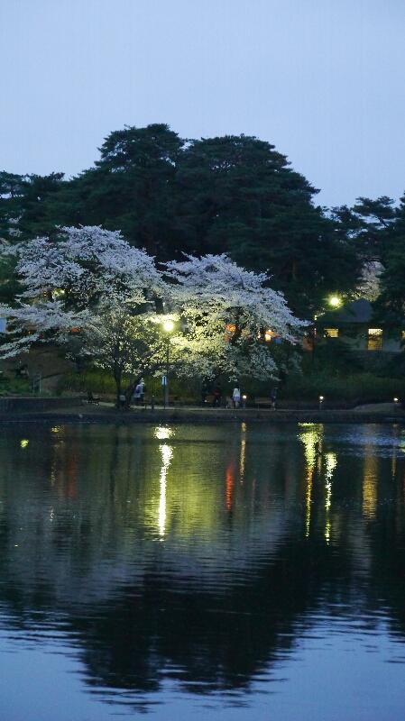 大宮公園の桜12
