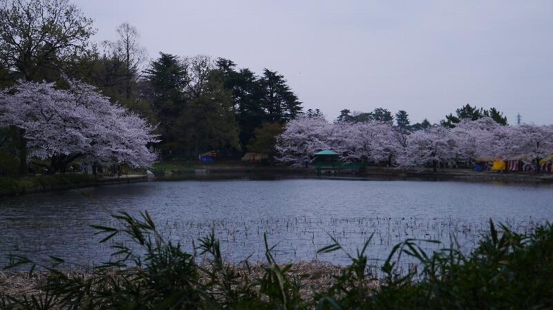 大宮公園の桜11