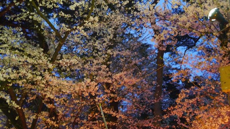 大宮公園の桜13