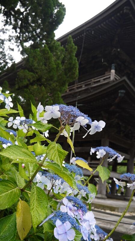 建長寺紫陽花