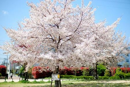 4月8日の桜