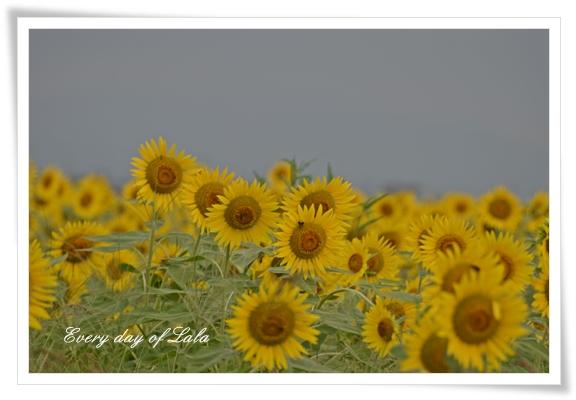 ひまわり畑3 201208
