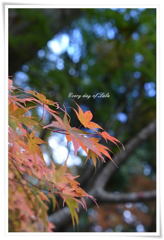 もみじ201211
