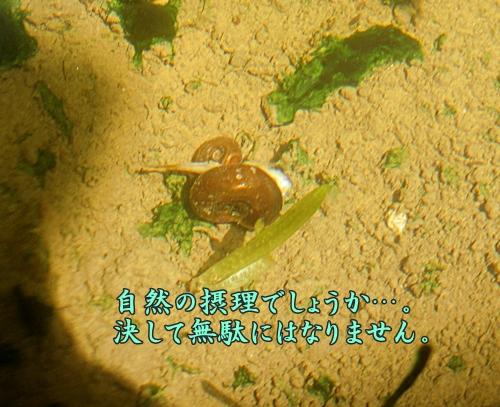 メダカの死と貝