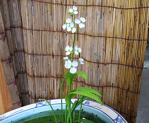 五二 ウリカワの花全体