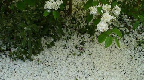 コデマリの花びら