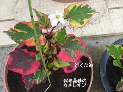 栽培品種「カメレオン」