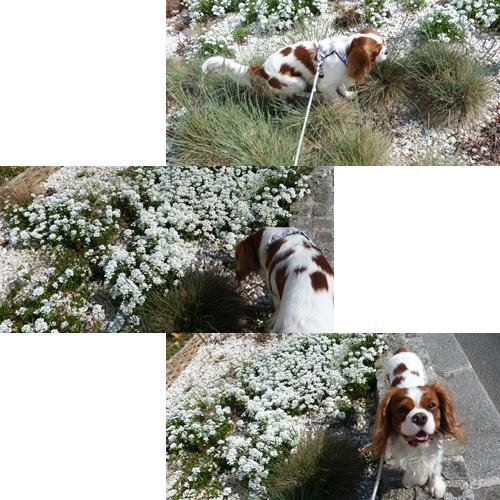 ギネスと白花