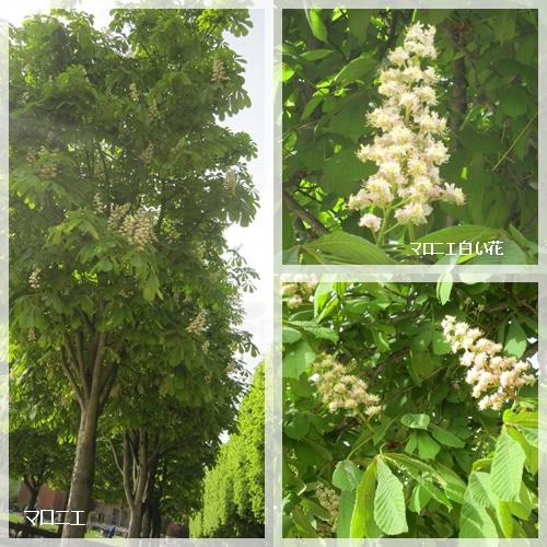 マロニエの花1