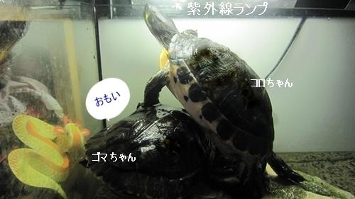亀コロちゃん