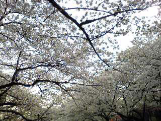 ueno-cerry1.jpg